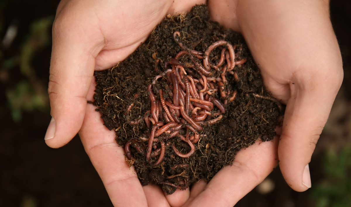 composting worms for sale